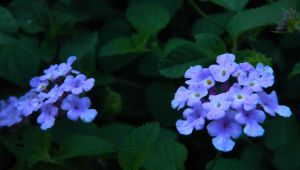 Violet's Passion by Hunter-Arkaman