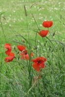 poppies by WALKING-GIRL