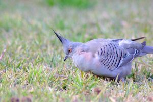 Crested Pigeon by Tamamantix