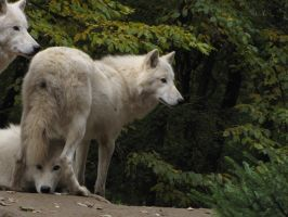 North American Arctic Wolf 48 by animalphotos