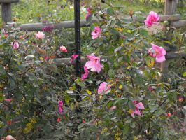 Rosa chinensis Mutabilis by TheLordTaxus
