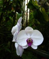 Orchids by eivaj
