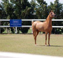 GE Arab chestnut standshow pose front side pose by Chunga-Stock