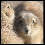 Prairie dogs by Globaludodesign