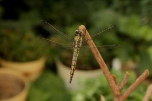 Dragon fly_3_ by Morvarid26