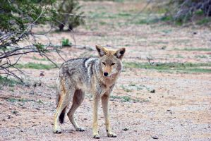 Posing Coyote by xplosivemind