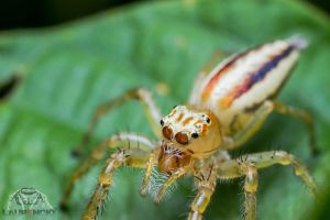 Jumping Spider Portrait by Anrico
