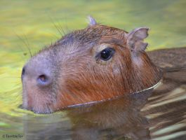 Candidly Capybara by TerribleTer