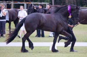 STOCK - Friesian Show 2012-114 by fillyrox