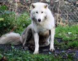 Arctic wolf sitting 59 by AzureHowlShilach