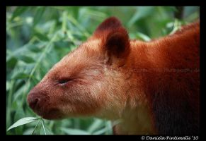 Tree Kangaroo Profile by TVD-Photography