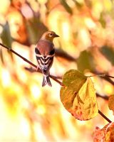 October finch by clippercarrillo