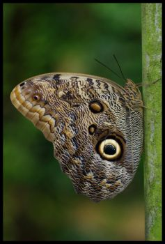 Owl Butterfly by Caelitha