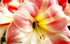 Pink Amaryllis 1 by jerryfrencho
