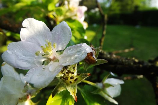 Hey little apple blossome by ColdWinter97
