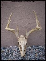 WhiteTail Deer skull  -TaxiderMegsan- by TaxiderMegsan