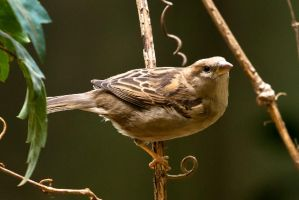 Sparrow on the branch by akadime