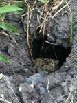 A little toad in a little hole by Scarletcat1
