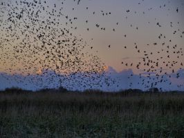 Starlings in the sunset by Juliemarie91