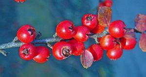 A branchful of berries by TheRafflesia