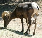 Hogle Zoo 96 - Big Horn Sheep by Falln-Stock