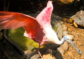 Amazing Spoonbill by WilliamJCovello