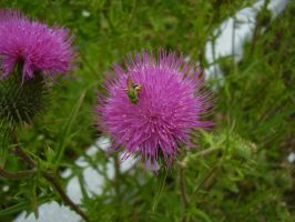 Green Sweat Bee On Thistle by Pentacle5