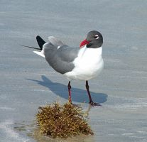 Laughing Gull III by CorazondeDios