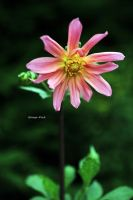 First Dahlia by George---Kirk