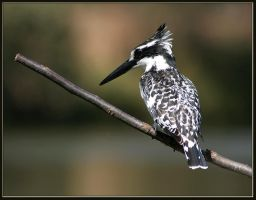 Pied kingfisher by sapog