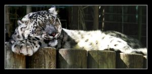 Snow leopard sleeping by floflo
