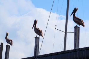 Pelicans by don82159
