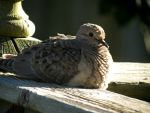 Mourning Dove Relaxing by Michies-Photographyy