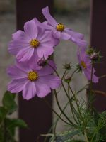 Cosmos 30 by botanystock