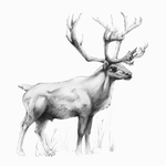 Grant Caribou by Alithographica