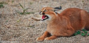 Caracal by nico-eos1
