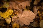 Oak leaf by Thrym982