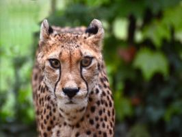 Cheetah by NB-Photo