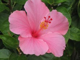 216 Pink Hibiscus by crazygardener