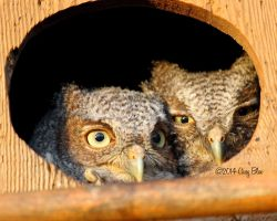 Owlets by Cassy-Blue