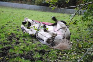 Grey Horse Rolling (4) by emmys-stock