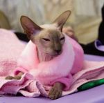 Sphynx in pink by Yerahatte