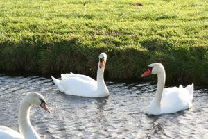 double swan by priesteres-stock