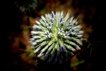 Thistle O' Thistle by Hypnotunez