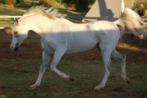 JA Arab Grey Trot side view by Chunga-Stock
