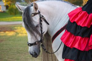 STOCK - 2014 Andalusian Nationals-262 by fillyrox