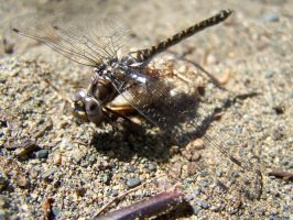 dragonfly by ibartley
