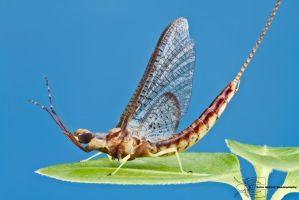 Common Burrower Mayfly - Hexagenia sp. by ColinHuttonPhoto