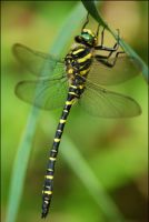 dragonfly by lomoboy