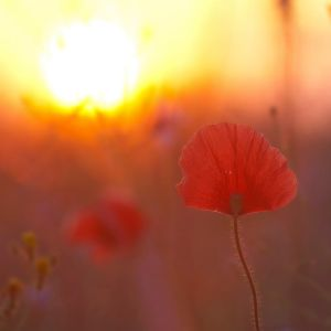 Poppies in the morning light II by mannromann